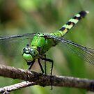 Dragonfly by Veronica Maur'er