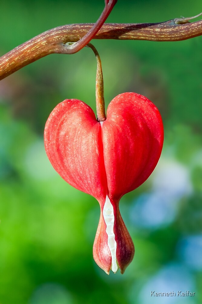 Red Bleeding Heart Flower by Kenneth Keifer