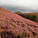 Heather hills, Pentlands by lukasdf