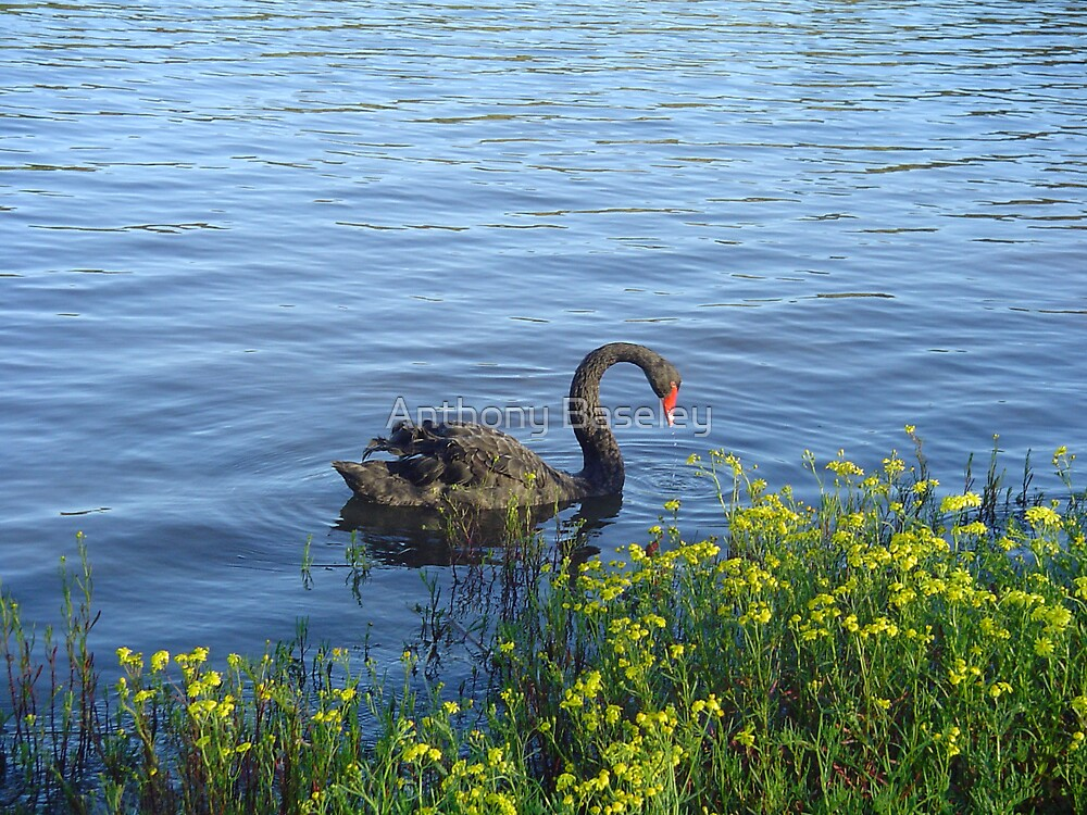Black Swan in the lake by Anthony Baseley