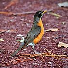 Robin On Standby by Cynthia48