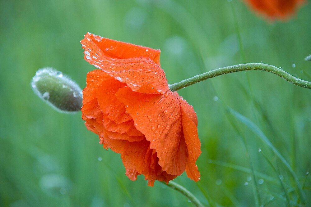 Morning Poppy by Michael  Dreese