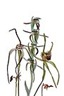 Orchids of Australia 5 Native orchids of Western Australia by Leonie Mac Lean