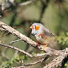 Zebra Finch - 760 by Emmy Silvius