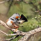 Zebra Finch - 781 by Emmy Silvius