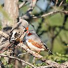Zebra Finches - 647 by Emmy Silvius