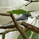 Leaden Flycatcher - 27 by Emmy Silvius