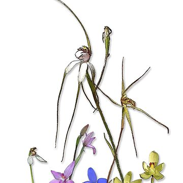 Orchids of Australia 7 Native orchids of Western Australia by yallmia