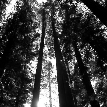 Redwoods in Black and White by kellerman