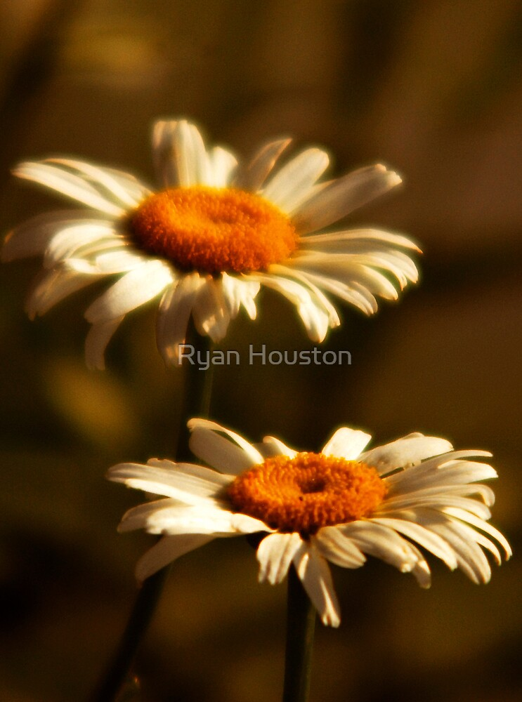 Front Yard Daisies by Ryan Houston