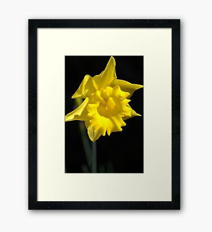 The Daffodil Glows Framed Print