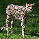 Cheetah by Ladymoose