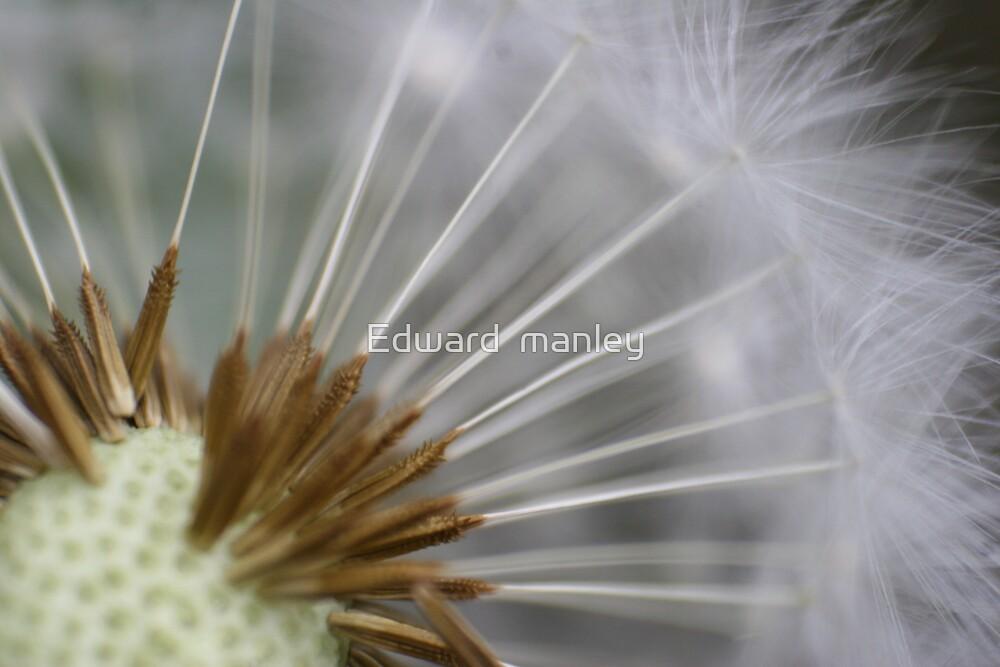 dandeline by Edward  manley