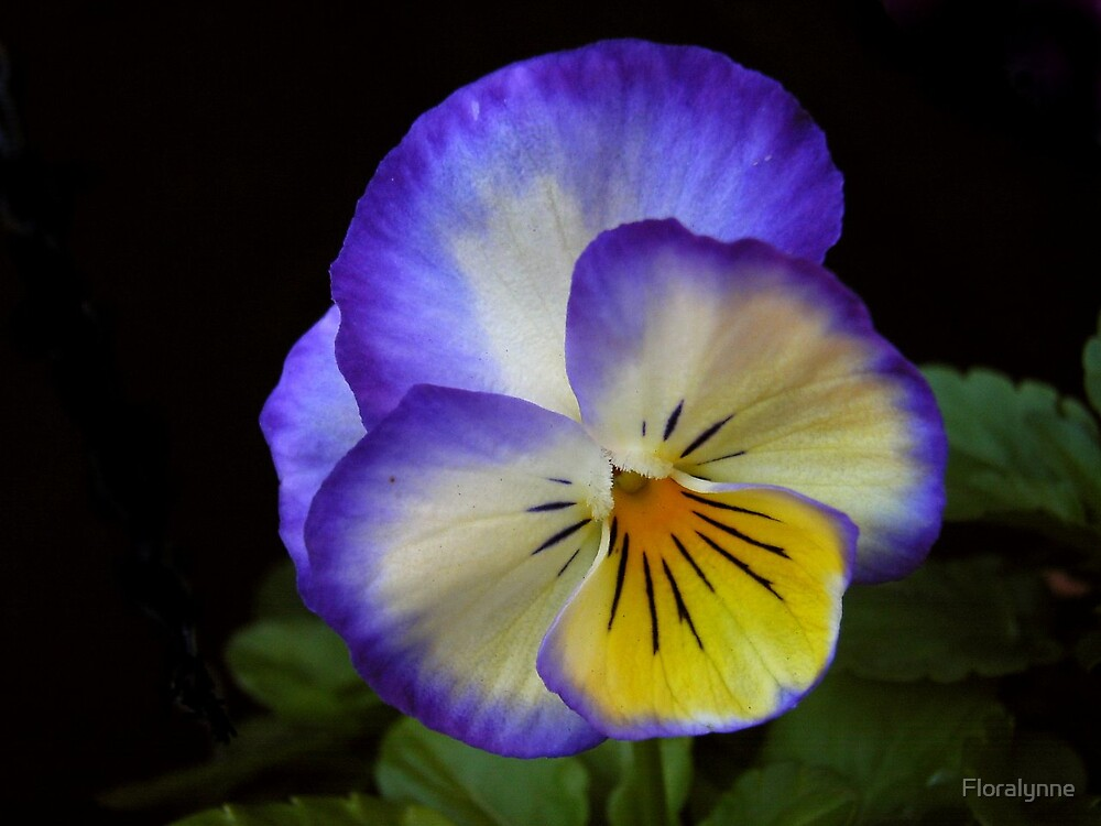 pansy face II by Floralynne