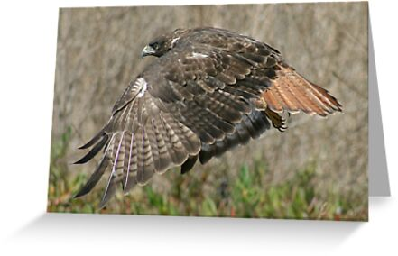 Red Tailed Hawk by Fred Barber