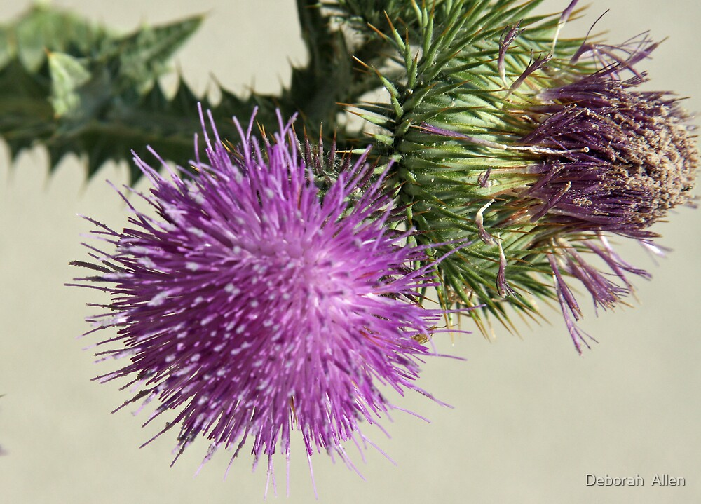 Purple Thistle  by Deborah  Allen