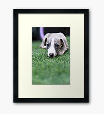 pedigree Whippet‎ puppy on the grass  Framed Print