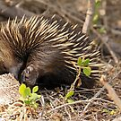 Echidna - 654 by Emmy Silvius