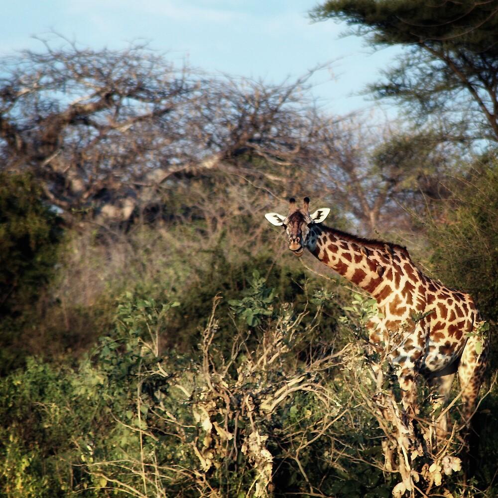 Giraffe Square by Scott Ward