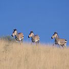 Hartman Mountain Zebras in the Namib Desert by Wild at Heart Namibia
