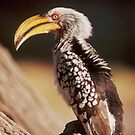 Yellow Billed Hornbill in Etosha National Park, Namibia by Wild at Heart Namibia