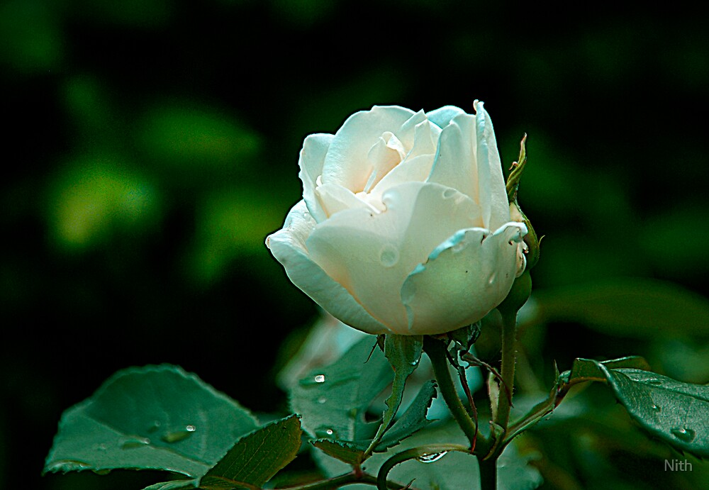 Stand Rose by Nith