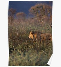Lion on the hunt, Namibia Poster