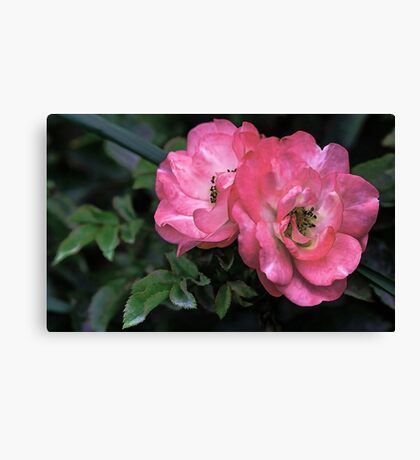 --Two Roses at Sunset Canvas Print