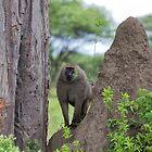 Male Olive Baboon (Papio anubis) by Yair Karelic