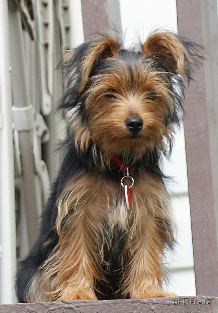 4 Months old Yorkie by Rick  Friedle