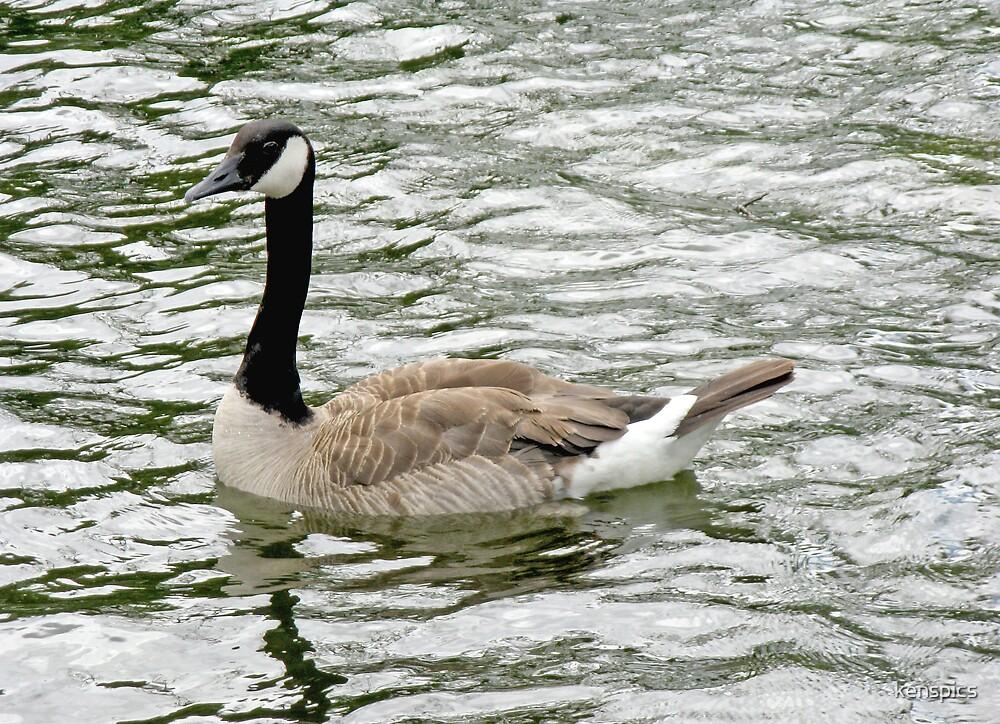 Canada Goose I by kenspics