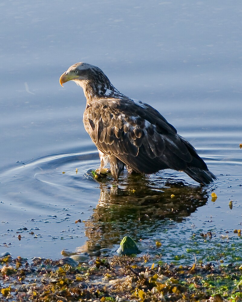 Eagle in the Water by David Friederich