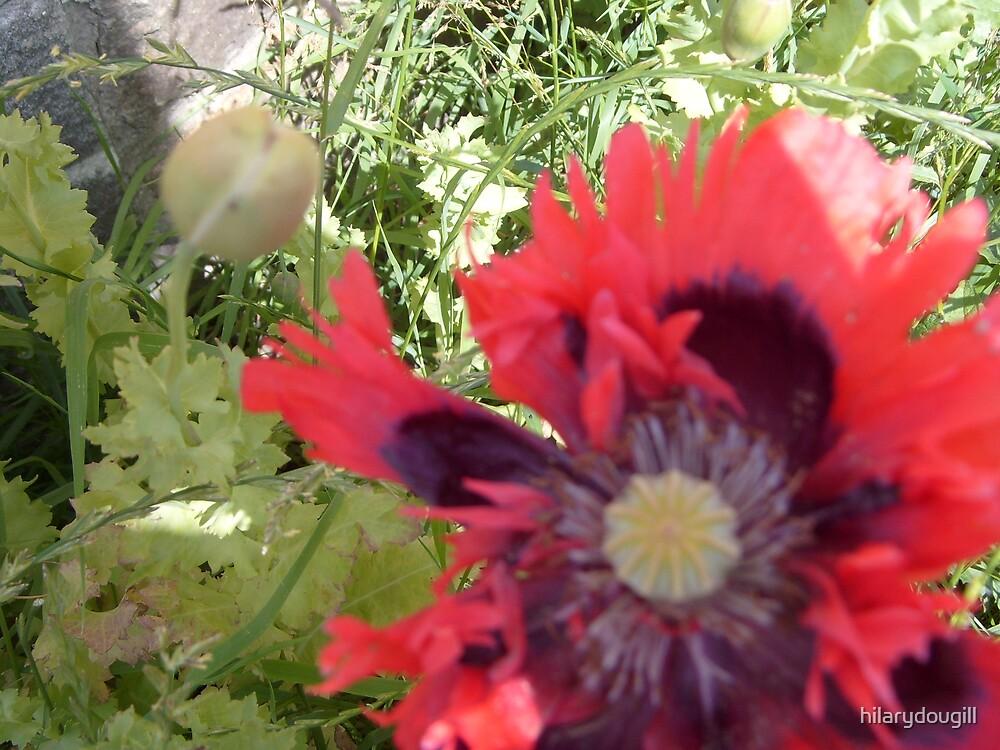 Original Big Frilly Poppy by hilarydougill