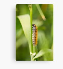 Caterpillar munches on a leaf in a garden  Canvas Print