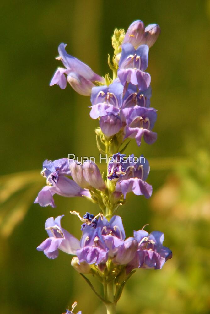 Purple Wildflower - Sundance, Utah by Ryan Houston