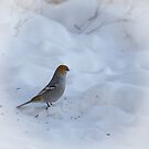 Pine Grosbeak by Betty MacRae