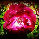 *Burgundy Iceberg Rose - Spring 2015* by EdsMum