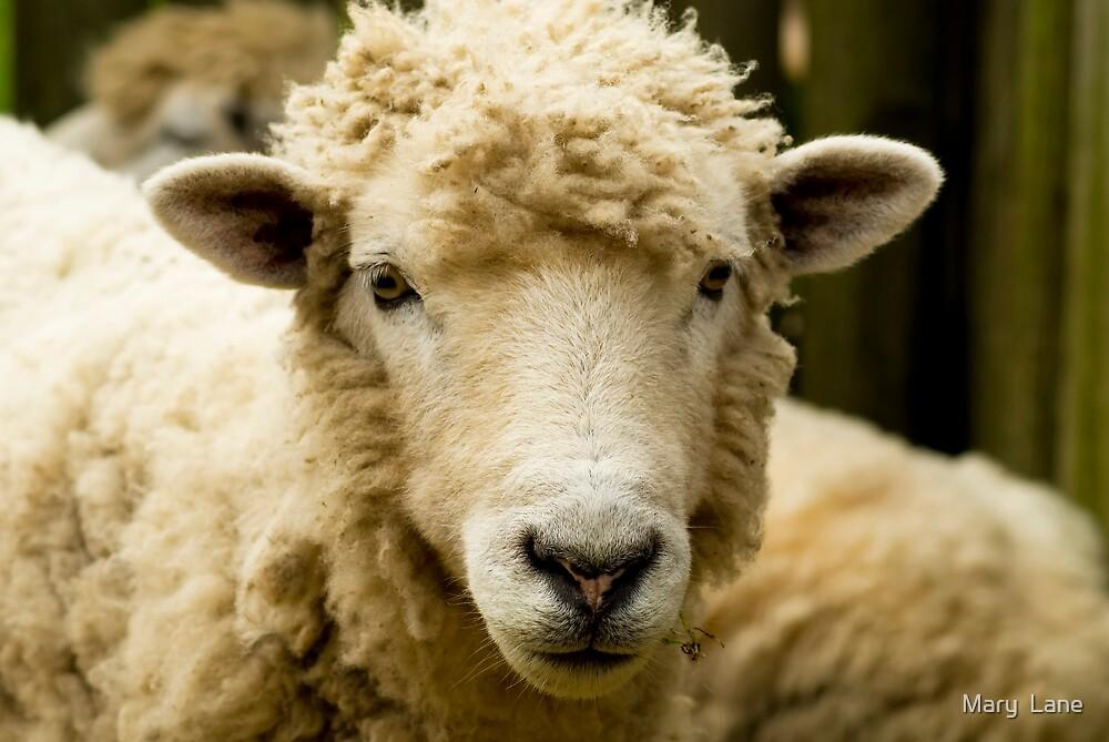 Classy Sheep by Mary  Lane