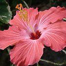 Hibiscus by Sheila McCrea