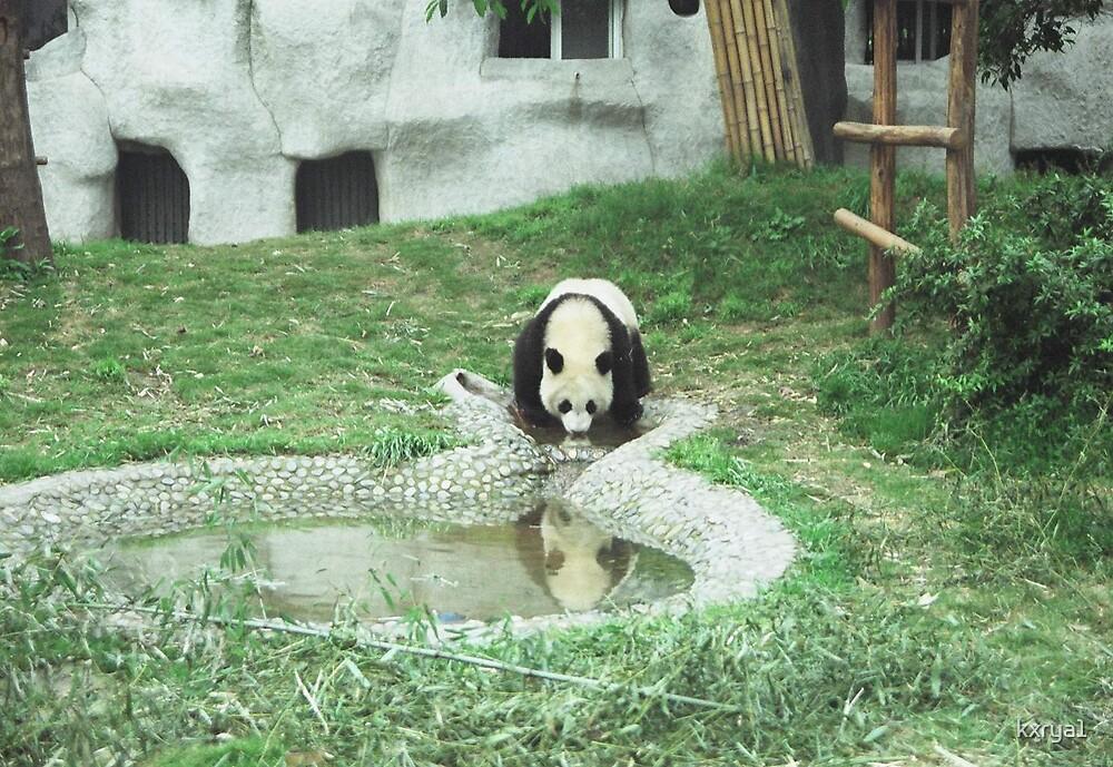 Panda Drinking - China by kxrya1