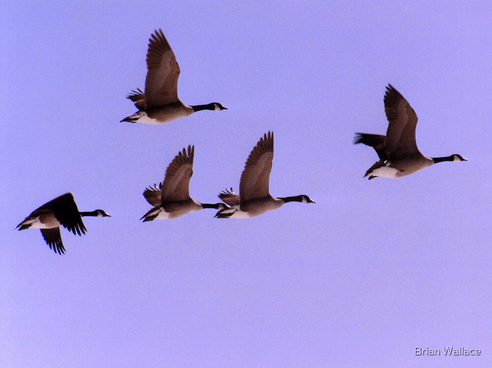 geese in flight by Brian Wallace