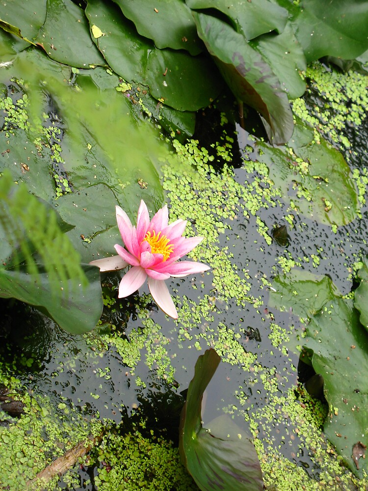 lily pad in Amsterdam - Hortus Botanicus by lanie26