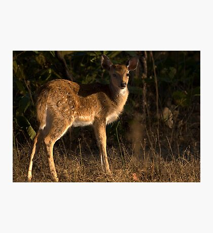 Spotted Deer Fawn Photographic Print