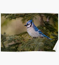 Blue Jay - Algonquin Park, Ontario Poster