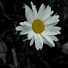 lonesome daisy by SNAPPYDAVE