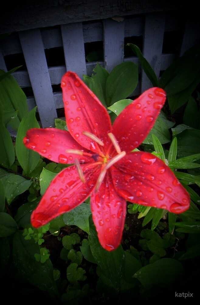Red lily  by katpix