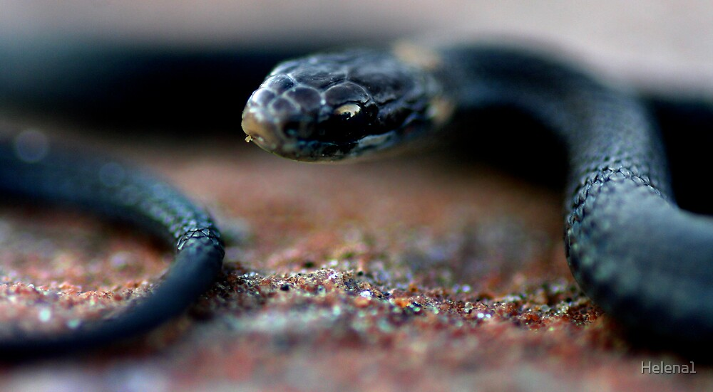 Baby Northern Red Belly Snake by Helena1