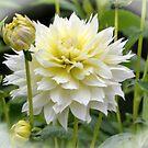 Showy Dahlia....... Devon UK by lynn carter