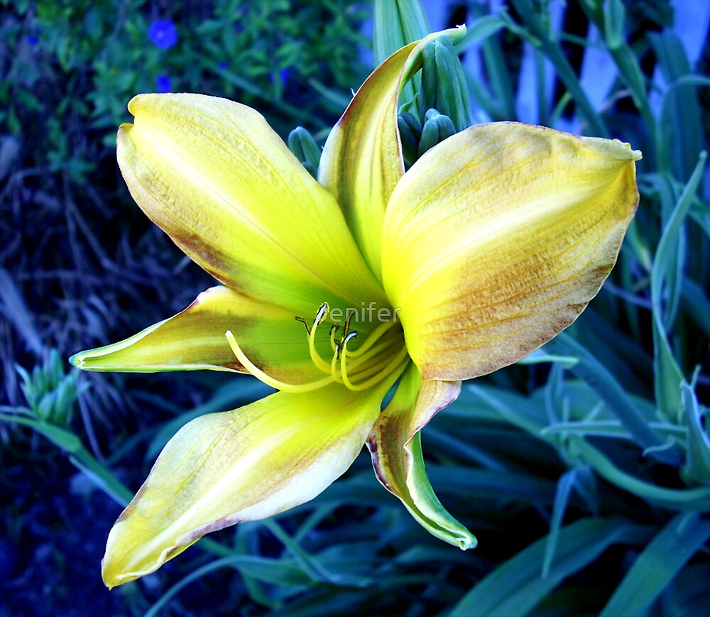 Day Lilly  by Jenifer