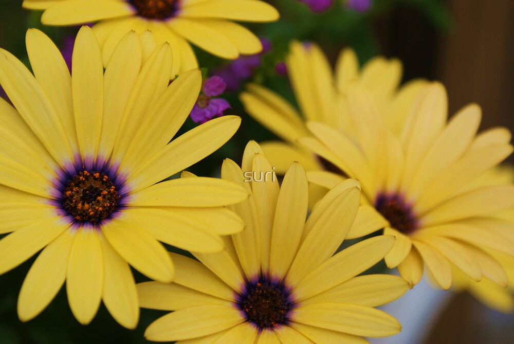 Yellow Daisies by suri